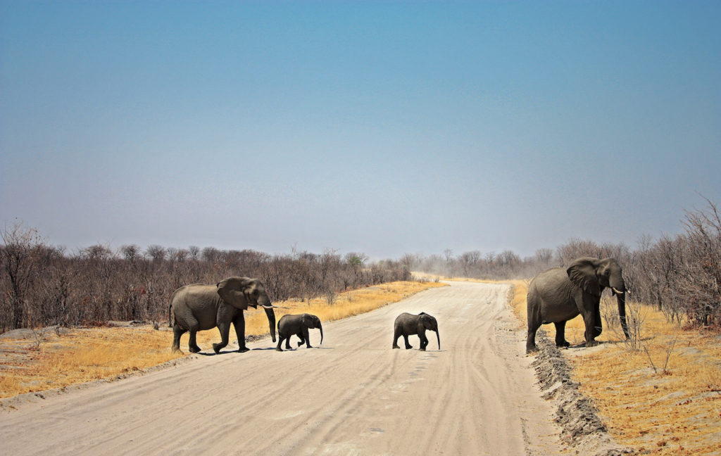 Photo of and Elephant Crossing in Botswana