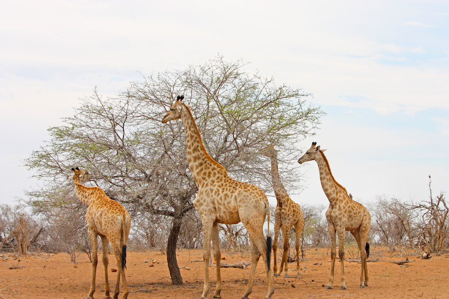 Giraffes eating leaves in Africa