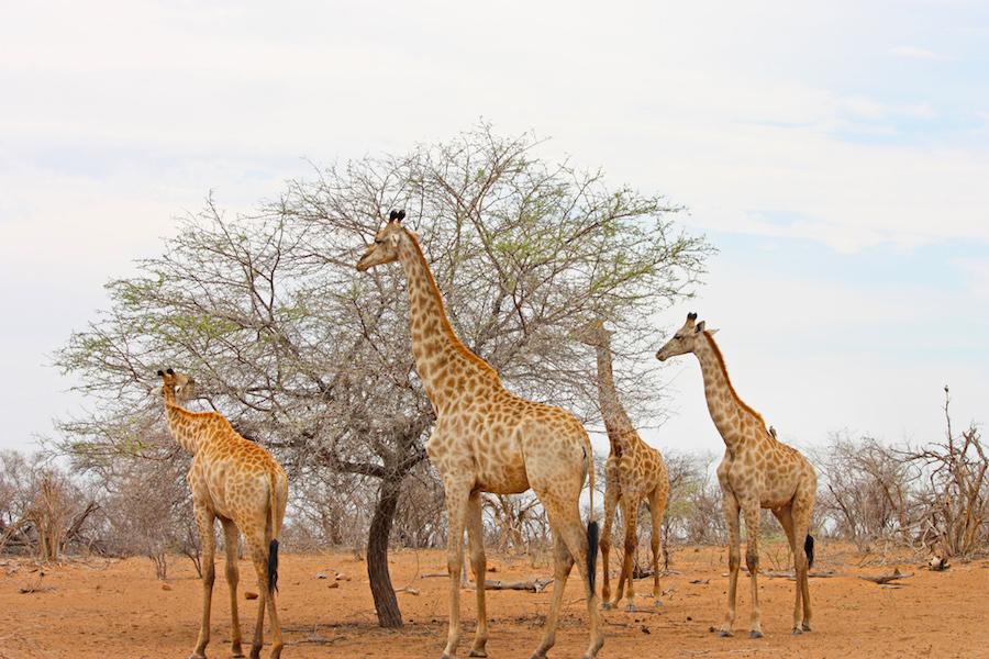 Giraffes eating leaves in Africa