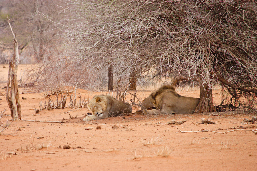 Lions Sleeping In Africa