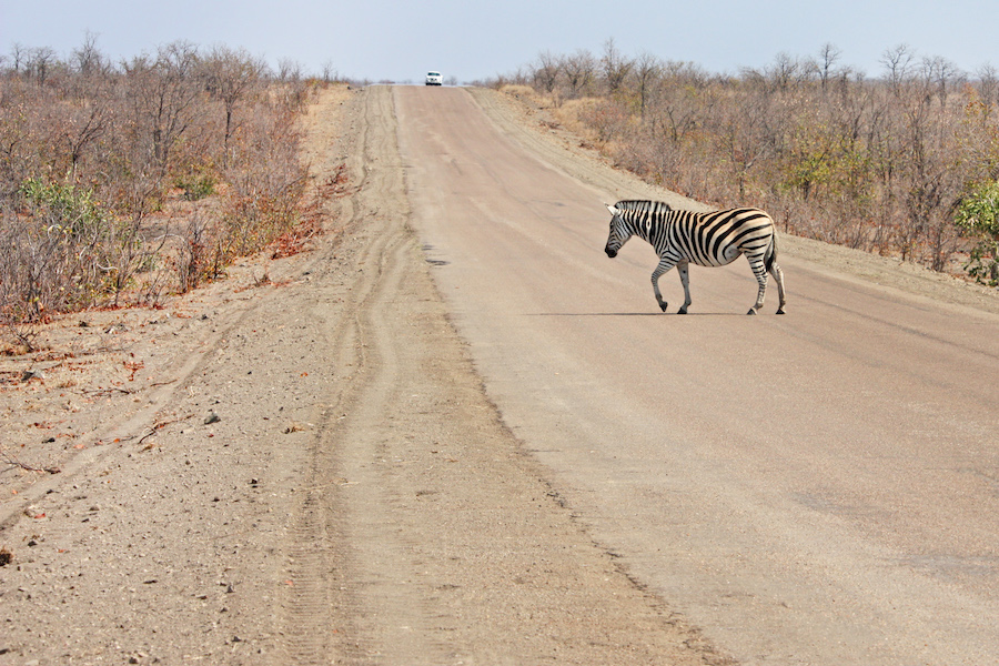 Zebra Roadblock in Africa